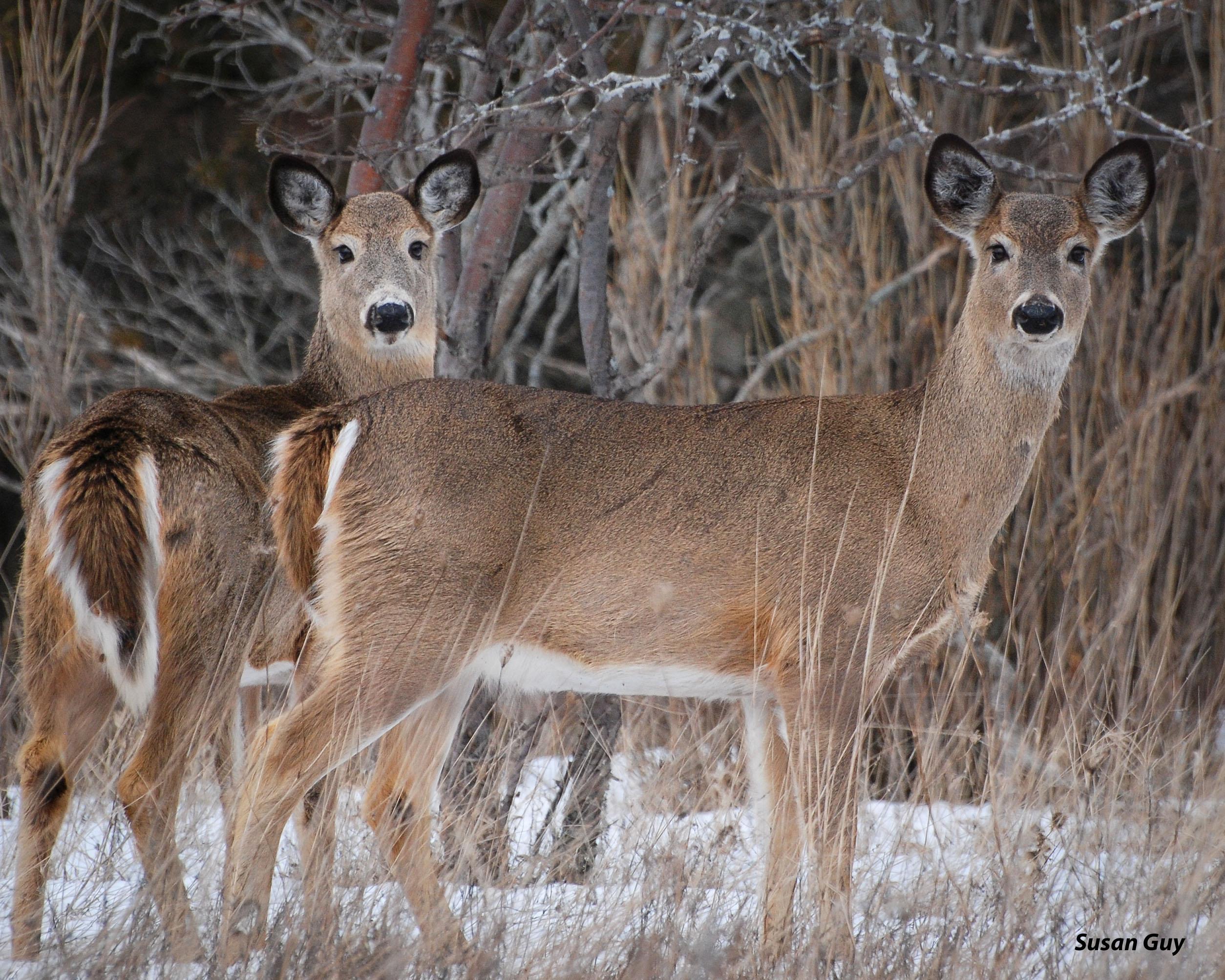 2-deer-2016