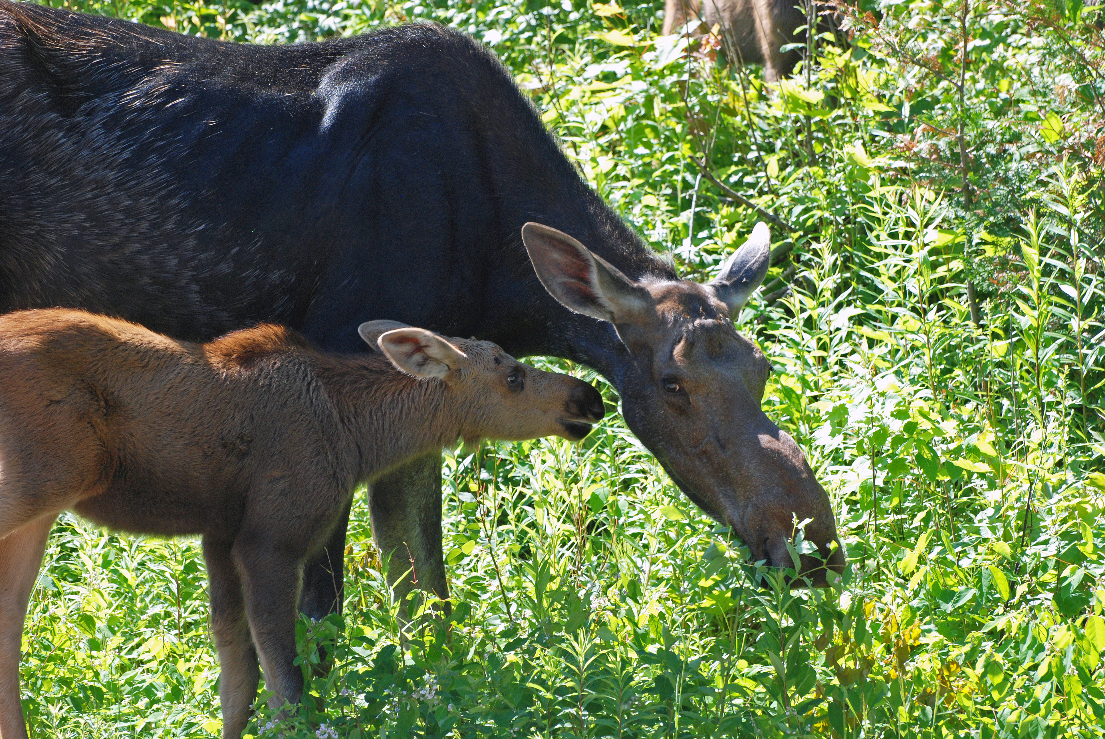 algonquin-moose-with-baby