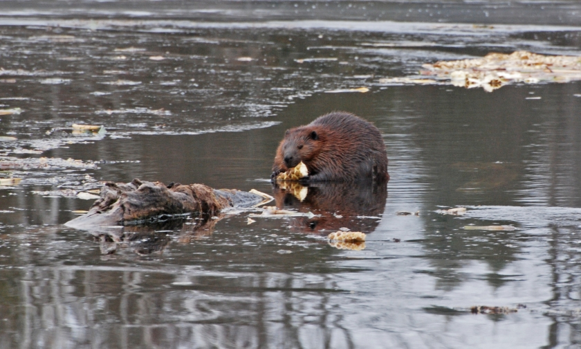 beaver11