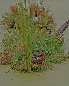 duckandgoose