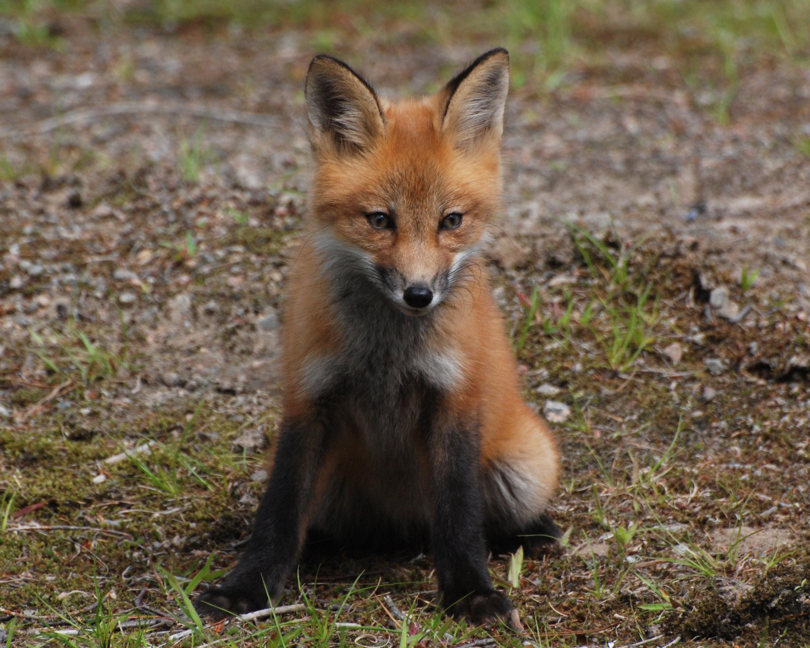 foxbaby