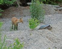 foxturtle