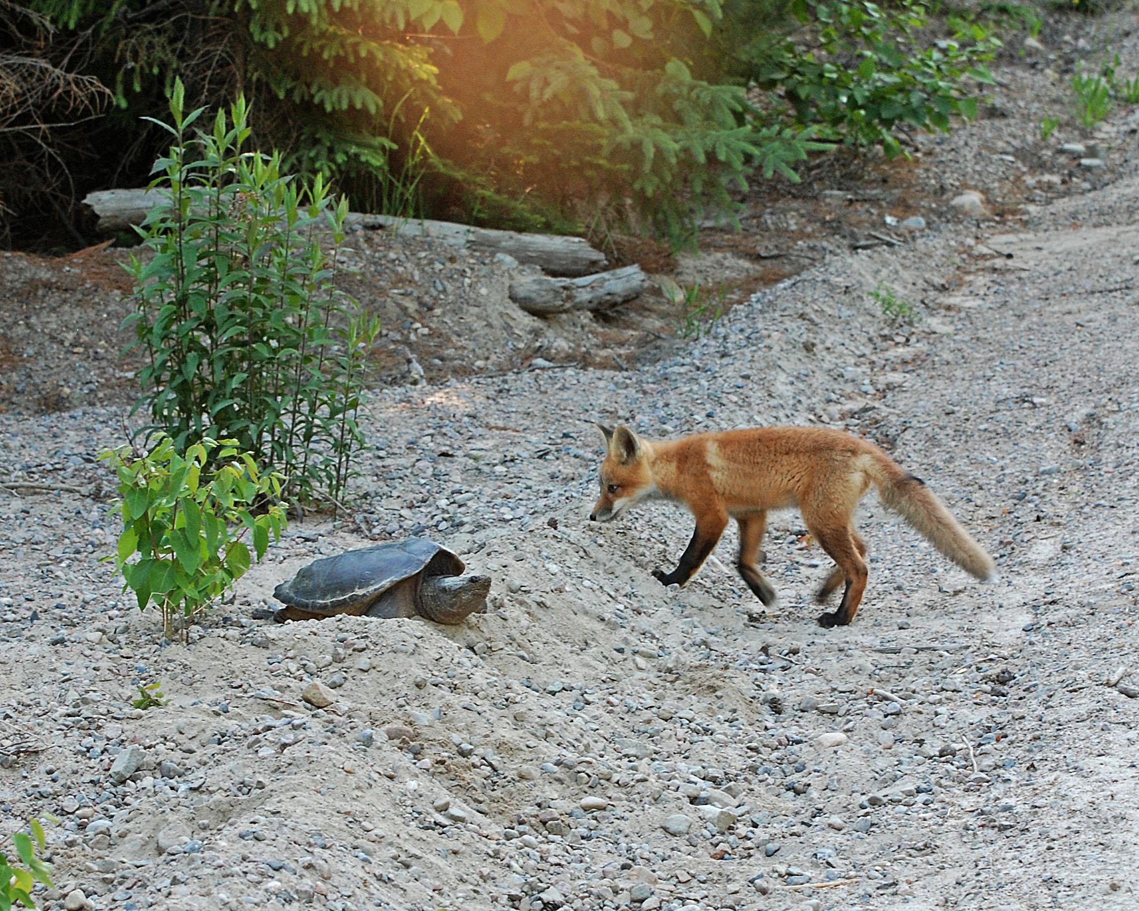 foxwithturtle