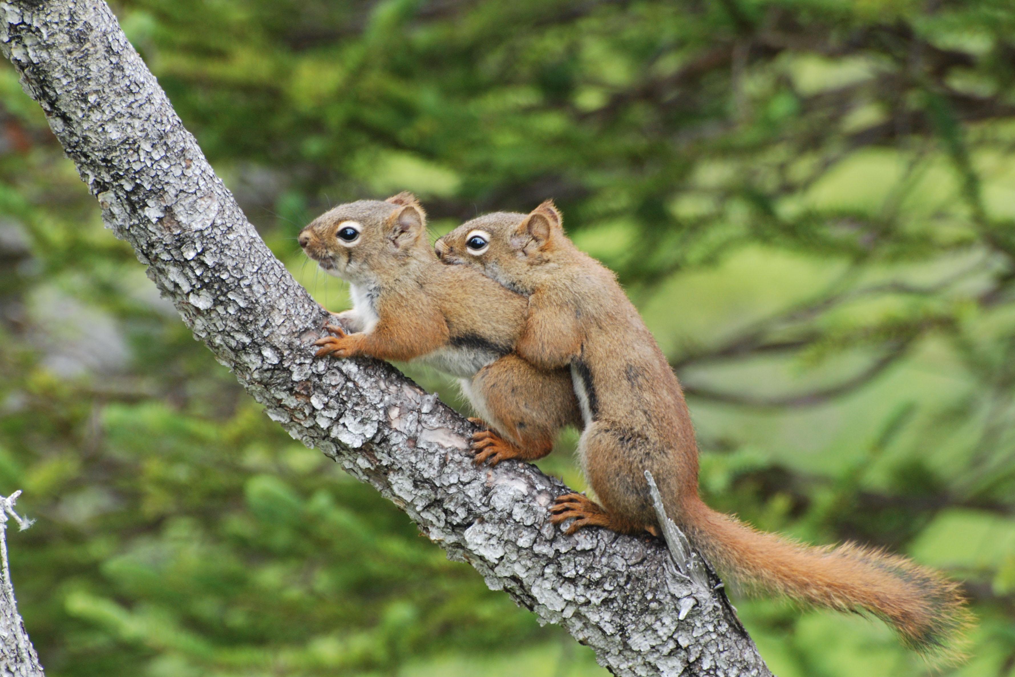 gros-morne-squirrels