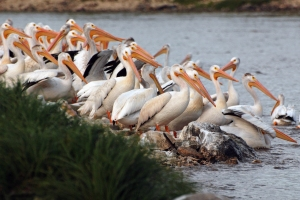 pelican-group-wp