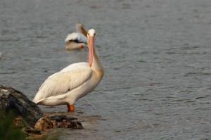 pelican-wp