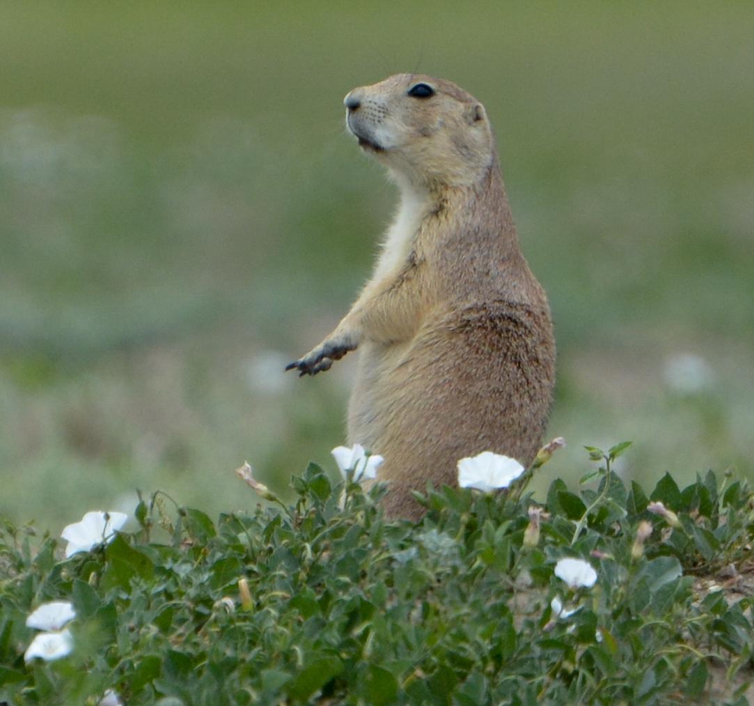 Prairie Dog with flowers