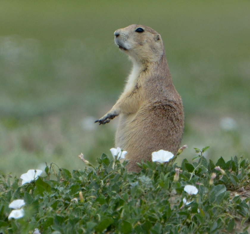 Prairie Dog with flowers