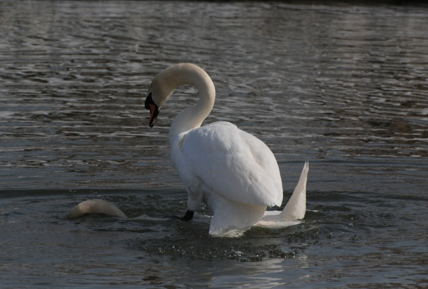 swans22