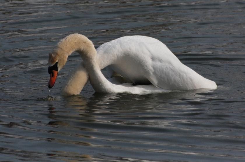 swans8