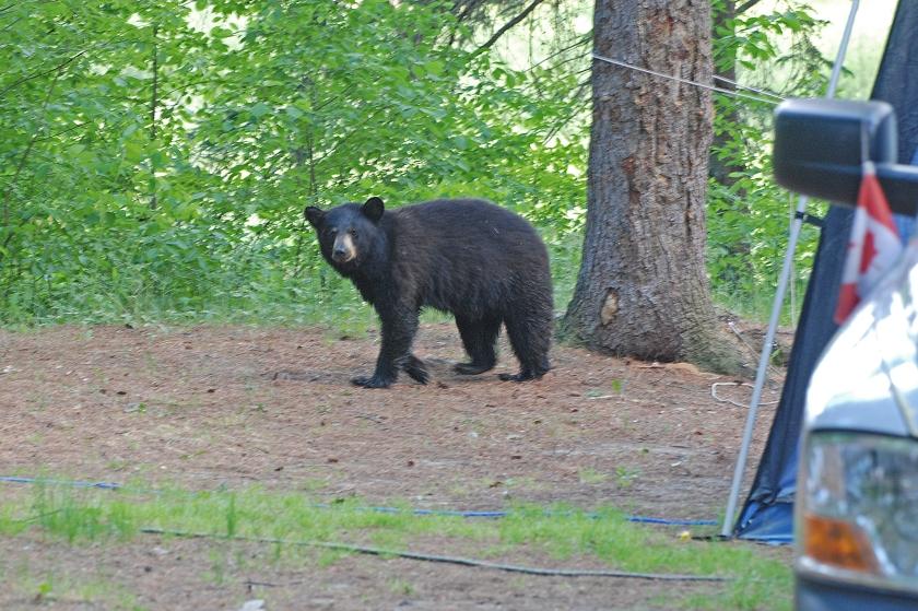bear by truck