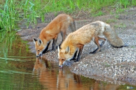 foxes at water