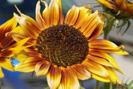 Sunflower Yukon_016