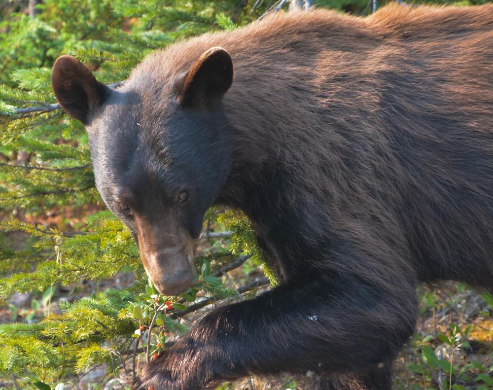 Alberta Bear _018