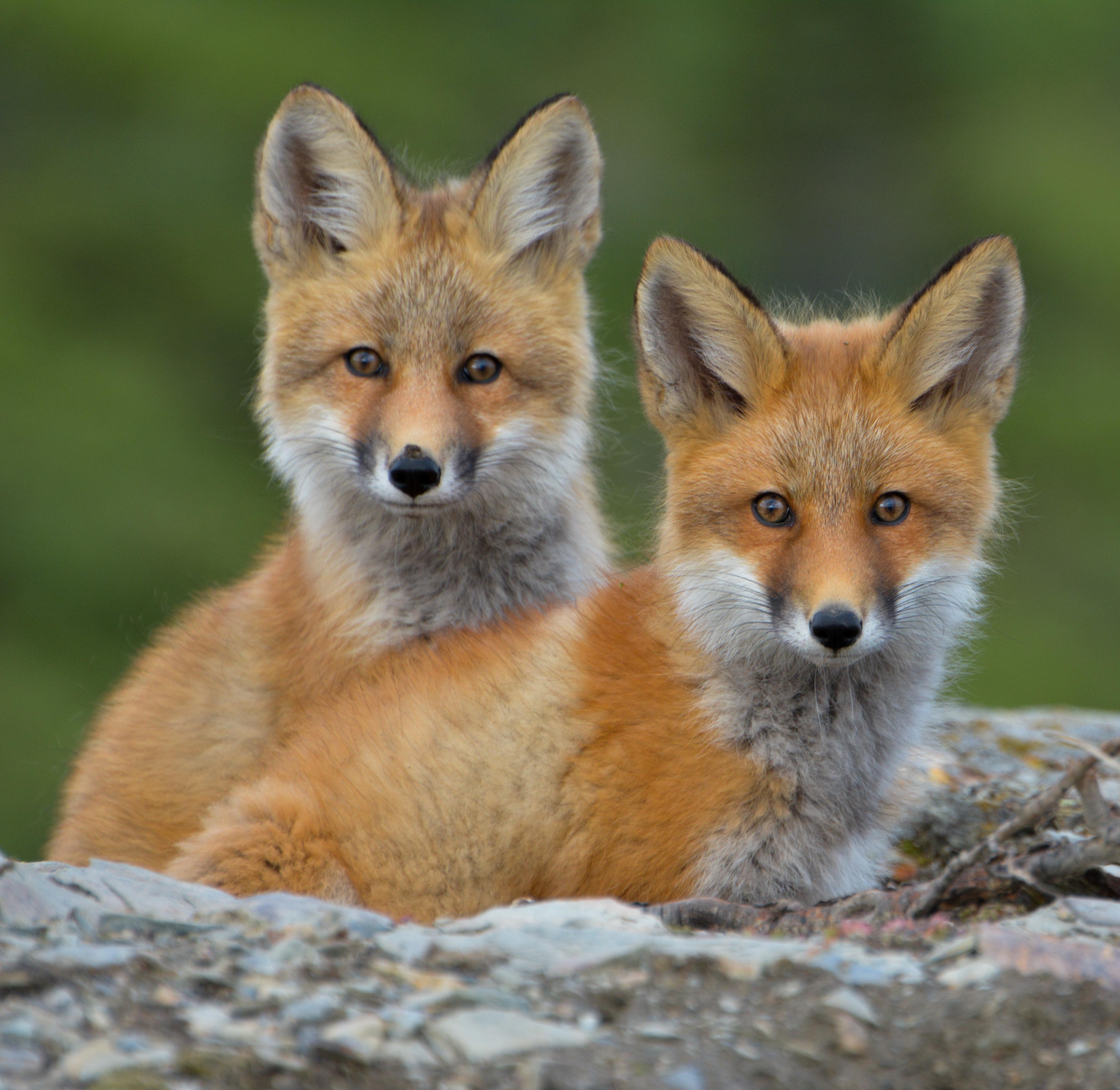 Mayo Fox