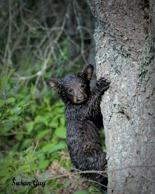 Bear on tree Final_1467