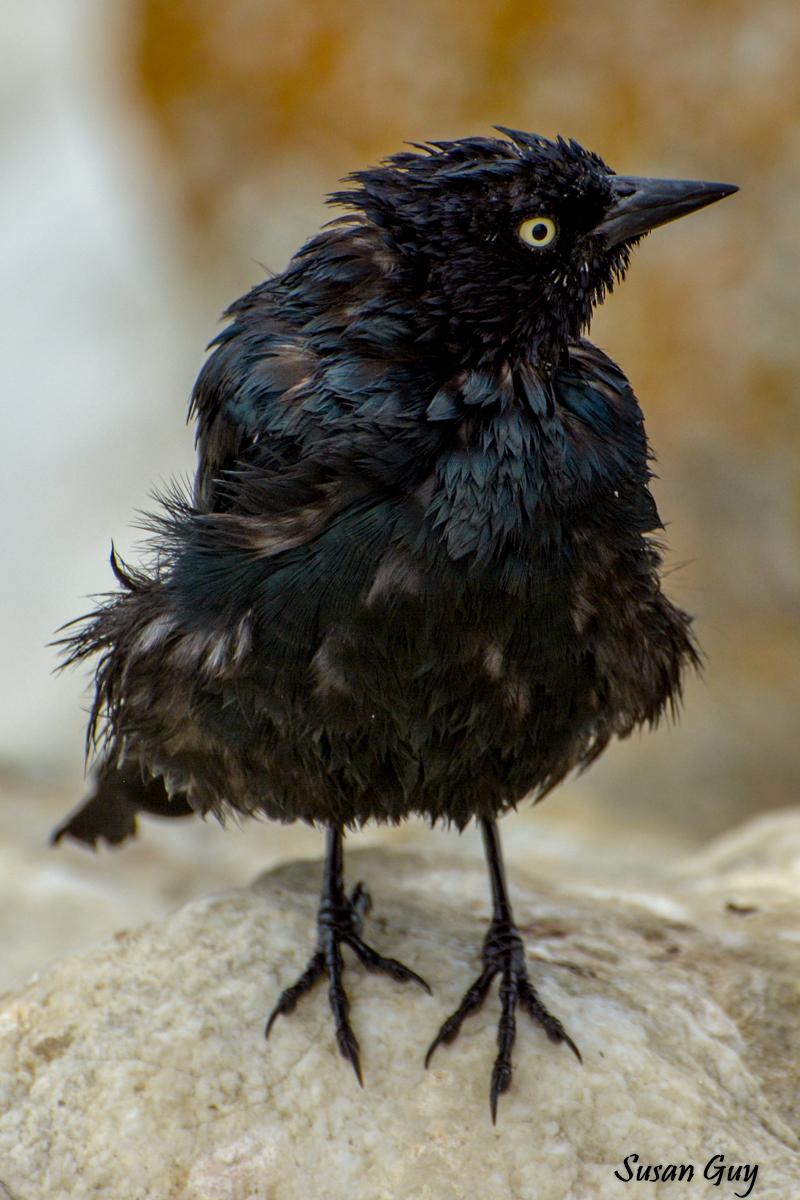Black Bird Goof