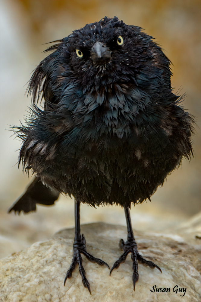 California Black Bird
