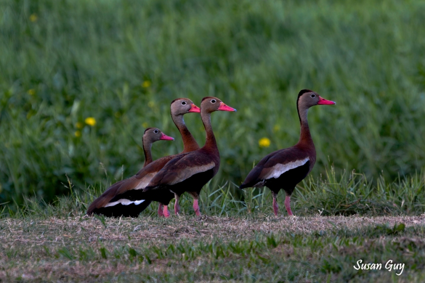 New Orleans Whistling Ducks
