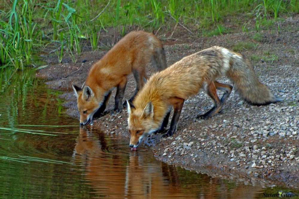 Thirsty Foxes_02